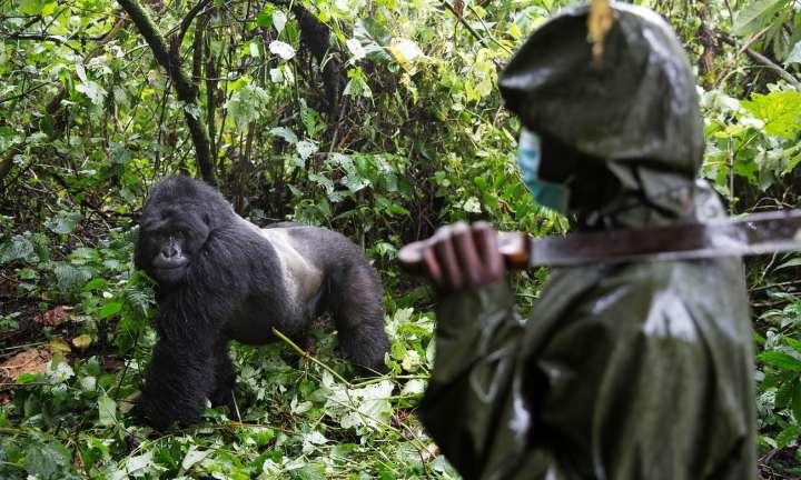 gorilla ranger