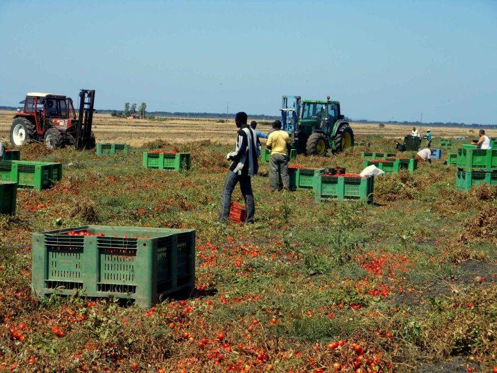 braccianti campi pomodoro