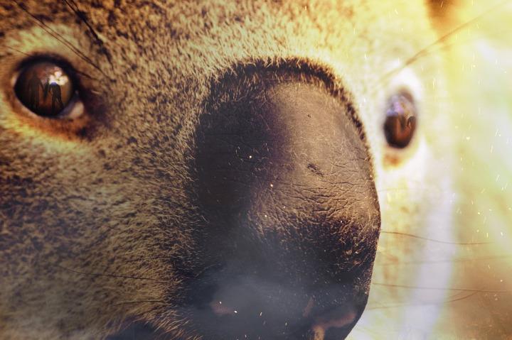 koala fuoco australia